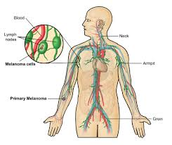 Picture Diagram Of The Human Body Diagram Of The Lymphatic System In The Human Body The Lymphatic