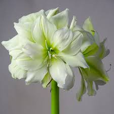 amaryllis bulbs flower bulbs at wholesale prices