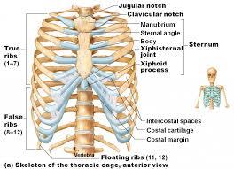 Human Anatomy Torso Diagram Ribs Human Anatomy Abdominal Diagram With Ribs Anatomy Human Body
