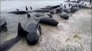hundreds of whales swim aground in new zealand