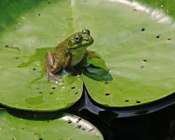 frogs lily pads and other wetland stuff kurtpreston