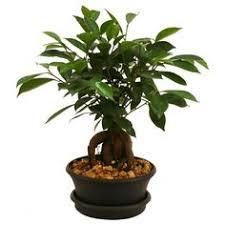 brussel u0027s bonsai dwarf hawaiian umbrella tree indoor umbrella