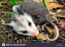 didelphis virginiana virginia opossum stock photos u0026 didelphis