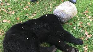 Maryland Wildlife images Maryland wildlife officials rescue bear cub that had bucket on jpg