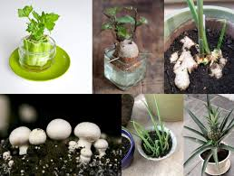 10 Vegetables U0026 Herbs You by 10 Vegetables Herbs And Fruits You Can Regrow From Scrap Pieces