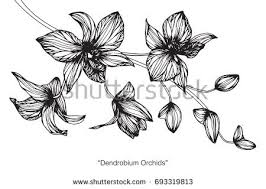 black orchid flower black orchid stock images royalty free images vectors