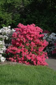 rosy lights azalea shrub pink flowers in the and purple