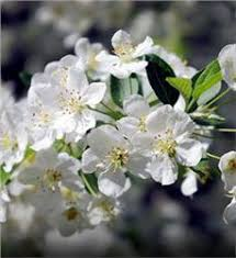 Profusion Flowering Crabapple - sargent crabapple tree on the tree guide at arborday org