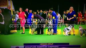 australian shepherd 2015 westminster miniature american shepherd westminster best of breed youtube