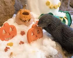 sea otters enjoy halloween treats at sea world san diego