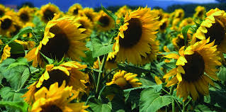 wild birds unlimited sunflowers up close the strange journey of