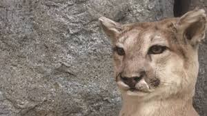 just because you haven u0027t seen a mountain lion doesn u0027t mean a