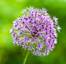 allium flowers allium flower pictures purple allium flower bulbs