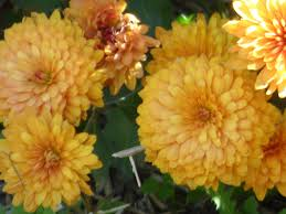 fact about chrysanthemum flowers u2013 are mums annual or perennial