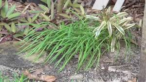 how to use society garlic as pest spray and an ornamental grass