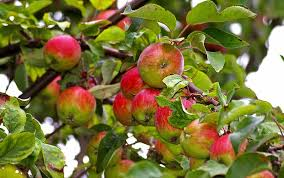 thanksgiving treets apples american forests