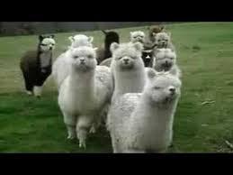 Alpaca Sheep Meme - star wars alpacas youtube