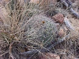 vascular plants of the gila wilderness vascular plants of the gila wilderness ferocactus wislizeni
