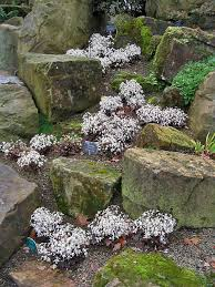 Scottish Rock Garden Forum 185 Best Rockgarden Images On Pinterest Alpine Garden Alpine