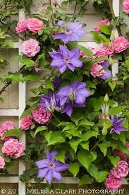 these breathtaking pictures of clematis are all you need to see