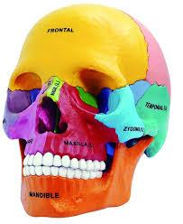 3d Head Anatomy 2017 Dental Lab Golbe 4d Human Head Anatomy Medical Colorful