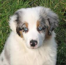 3 month australian shepherd faithwalk aussies eyes pigment markings