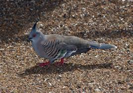 birds identification of australian birds sydney and blue
