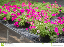 Flower Pot Sale Flowers In Pots On Sale In Plants Nursery Stock Photo Image