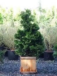 24 best ornamental trees images on hinoki cypress