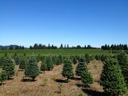 christmas trees evergreen nursery
