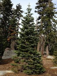 tree permits go on sale this week sierrasun