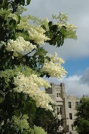 ivory silk japanese tree lilac clump syringa reticulata ivory