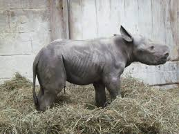 rare glimpse of cincinnati zoo rhino birth and first wobbly steps