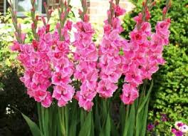 gladiolus flowers august flower of the month gladiolus