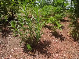 massachusetts native plants kittredge elementary