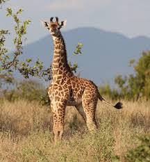 the giraffe genome project