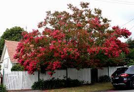growing crepe myrtle sustainable gardening australia