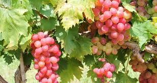 Planting Grapes In Backyard Growing Grapes In Your Backyard Is Not Just An Indulgent Fantasy