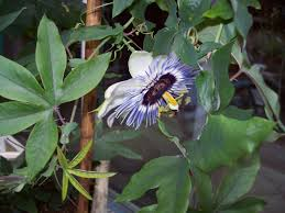 passion flower u2013 gourmet dad don u0027t let the title fool you