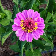 Zinnia Flower Thumbelina Zinnia Flower All Good Things Organic Seeds