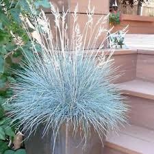 100pcs blue fescue grass seeds festuca glauca perennial hardy
