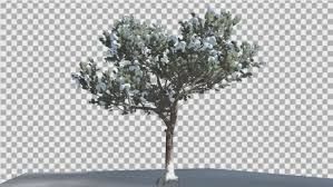 italian pine thin tree in a ground by zmei116 videohive