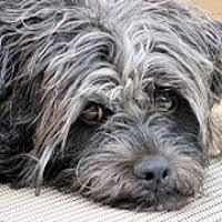 affenpinscher for adoption affenpinscher rescue u2015 animals for adoption u2015 rescueme org