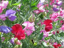 everlasting sweet pea sweet pea royal family mix seeds garden hoard harvested