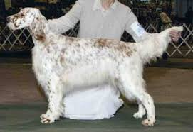 types of setter dog breeds the english setter