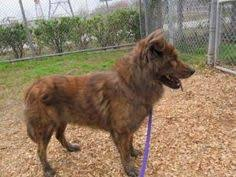 belgian shepherd dog rescue zeus gtr manchester rescue german shepherd dogs and puppies