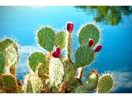 Seeking Cactus Cast Fact Friday Prickly Pear Cactus Livinginperu