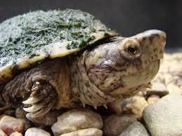 Ringed Map Turtle Blog U2014 The Big Turtle Year
