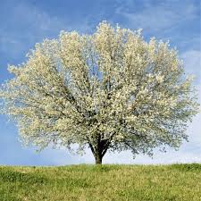 new bradford pear tree naturehills
