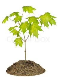 small sprout of maple tree macro texture on bed isolated